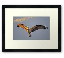 Osprey flys overhead as the sun sets Framed Print