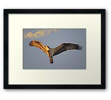 Osprey flys overhead as the sun sets Framed Print