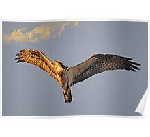 Osprey flys overhead as the sun sets Poster
