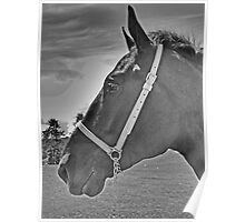 Profile Of A Percheron Poster