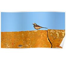 White Wagtail on a roof Poster