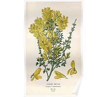 Favourite flowers of garden and greenhouse Edward Step 1896 1897 Volume 1 0204 Canary Broom Poster