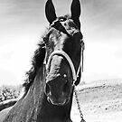 Percheron Posing by Al Bourassa