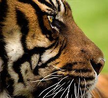 Sumatran Tiger 5 by mrshutterbug