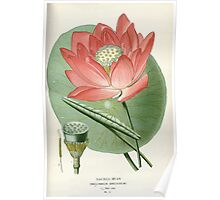 Favourite flowers of garden and greenhouse Edward Step 1896 1897 Volume 1 0060 Sacred Bean Poster