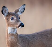 Doe at Big Meadow by bettywiley