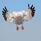 Incoming Snow Goose by Daniel Cadieux