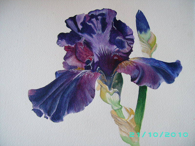Bearded Iris by dinky