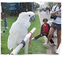 Splendid parrot in California Poster