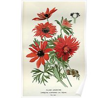 Favourite flowers of garden and greenhouse Edward Step 1896 1897 Volume 1 0024 Flame Anemone Poster