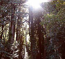 Redwood Trees - Muir Woods, CA by Megan Howard
