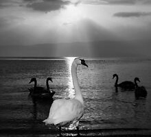 Swan on stage by zdepe