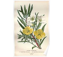 Favourite flowers of garden and greenhouse Edward Step 1896 1897 Volume 2 0088 Evening Primrose Poster