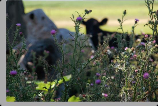 The shy cow by Denis Marsili - DDTK