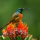 Orange-breasted Sunbird  by naturalnomad