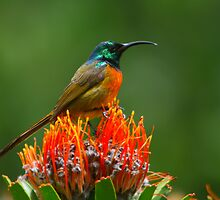 Orange-breasted Sunbird  by naturalnomad