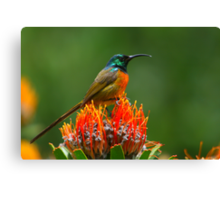 Orange-breasted Sunbird  Canvas Print