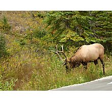 Caribou in Banff Park Photographic Print