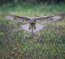 Coopers Hawk by sk66