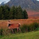 Scottish Deer by Rachel Slater