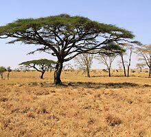 serengeti siesta by Iris MacKenzie