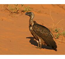 White-backed Vulture Photographic Print