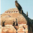 Hawk - Jaipur by Laoghaire