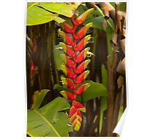Red Heliconia Poster