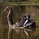 Serenity ... Black Swan by mosaicavenues