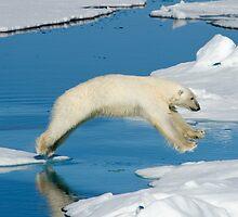 Polar bear jumping, Spitzbergen by John Tozer