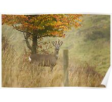 Roe Deer buck on moorland Poster
