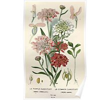 Favourite flowers of garden and greenhouse Edward Step 1896 1897 Volume 1 0099 Purple and Common Candytuft Poster