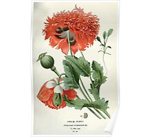 Favourite flowers of garden and greenhouse Edward Step 1896 1897 Volume 1 0063 Opium Poppy Poster