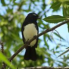 Willy Wagtail (Rhipidura leucophrys) - Adelaide, South Australia by Dan & Emma Monceaux