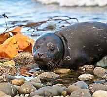 Seal Pup by Shawnna Taylor