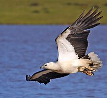 Hunting White Bellied Sea Eagle 2 by robretta