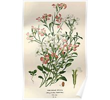 Favourite flowers of garden and greenhouse Edward Step 1896 1897 Volume 1 0090 Virginian Stock Poster