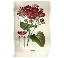Favourite flowers of garden and greenhouse Edward Step 1896 1897 Volume 2 0235 Cineraria Poster