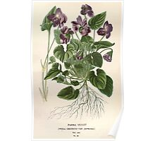 Favourite flowers of garden and greenhouse Edward Step 1896 1897 Volume 1 0105 Parma Violet Poster