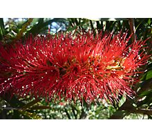 Red Bottle Brush 2 Photographic Print