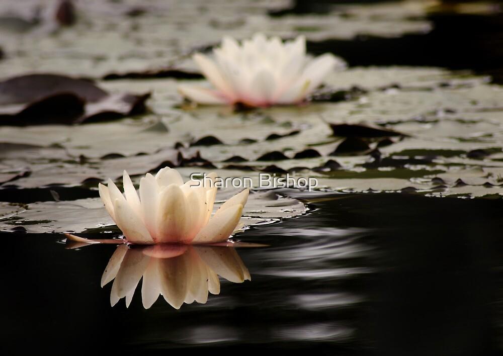 Drakensberg water lily. by Sharon Bishop