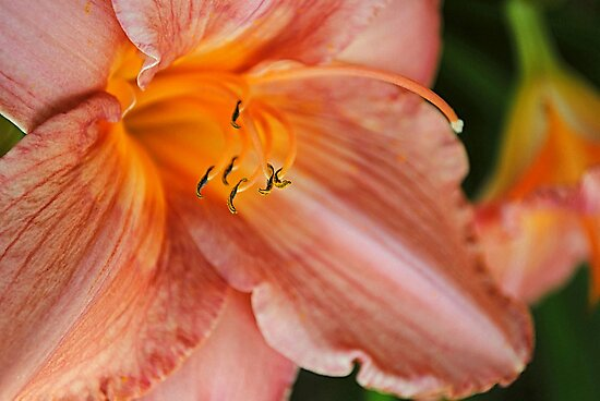 Day lily  by JuliaWright