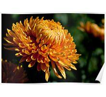 Yellow chrysanthemum close-up Poster