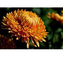Yellow chrysanthemum close-up Photographic Print