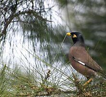 Another Indian Myna by shortshooter-Al