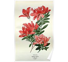 Favourite flowers of garden and greenhouse Edward Step 1896 1897 Volume 3 0041 Azalea Poster