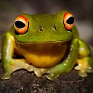 Litoria chloris by D Byrne