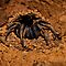 (Insects, Spiders & Other Category) - Family - Theraphosidae - Tarantula
