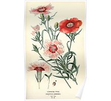 Favourite flowers of garden and greenhouse Edward Step 1896 1897 Volume 1 0120 Chinese Pink Poster