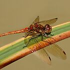 Common Darter on a reed. by Gill Langridge